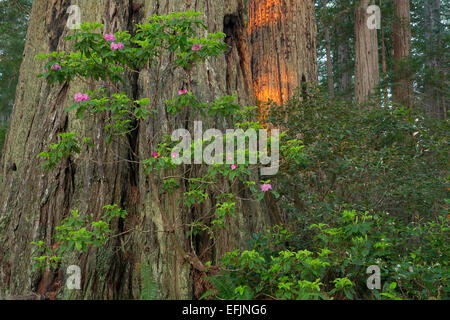 Rhododendron blooms along Lady Bird Johnson loop trail in Redwood National Park. California. spring
