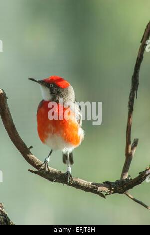 Crimson chat (Epthianura tricolor) Alice Springs, Central Australia. - Stock Photo