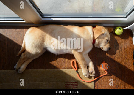 Cute yellow Labrador Golden Retriever mix puppy sleeping on its side - Stock Photo