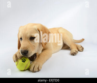 Cute yellow Labrador Golden Retriever mix puppy playing with a tennis ball - Stock Photo