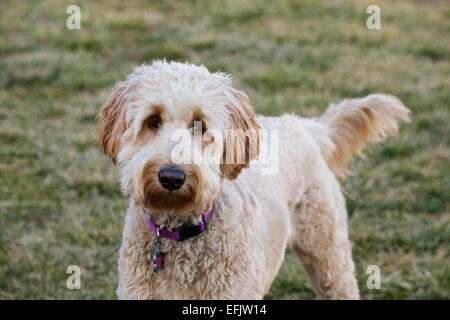 Young female goldendoodle dog in yard. - Stock Photo
