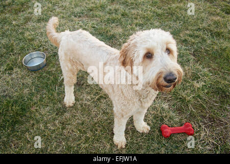 Young female goldendoodle dog standing in yard with toy bone and water bowl. - Stock Photo