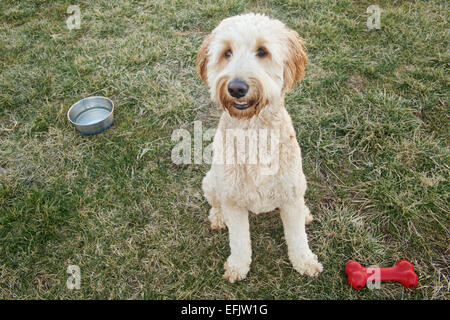 Cute young goldendoodle dog sitting in yard with toy bone and water bowl. - Stock Photo