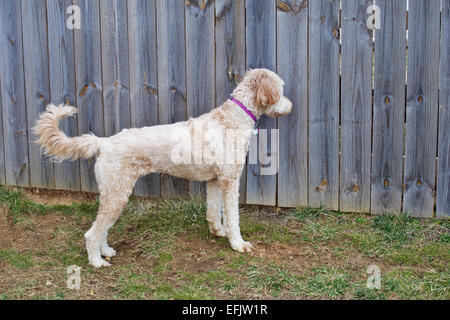 Young female goldendoodle dog standing in yard looking through a fence - Stock Photo