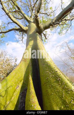Giant ceiba tree grows up in sunny coast of Ecuador - Stock Photo