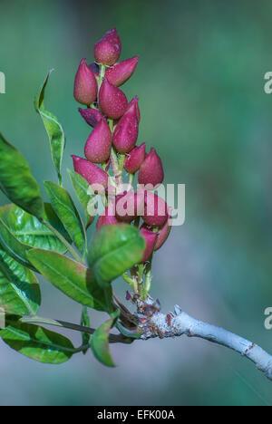 Pistachio tree, Kerman, Iran - Stock Photo