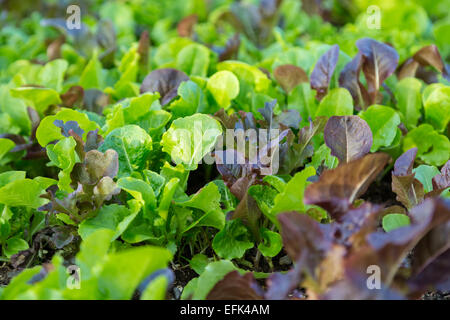 Multi colored leaf lettuce growing in the garden. - Stock Photo