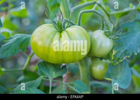 A large green tomato ripening in the garden. - Stock Photo