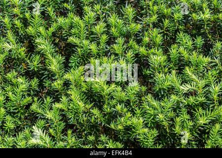 Close up of foliage of a beautiful yew hedge. - Stock Photo