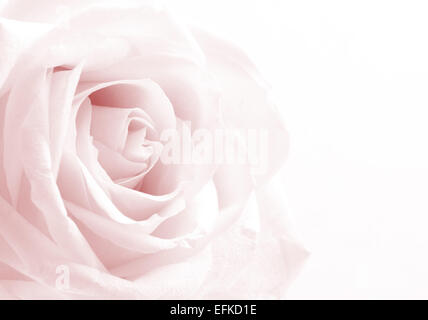 Pink rose close-up can use as background. Soft focus. - Stock Photo