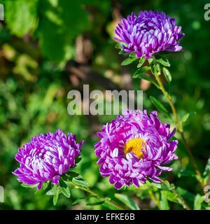 Three purple aster flowers - Stock Photo