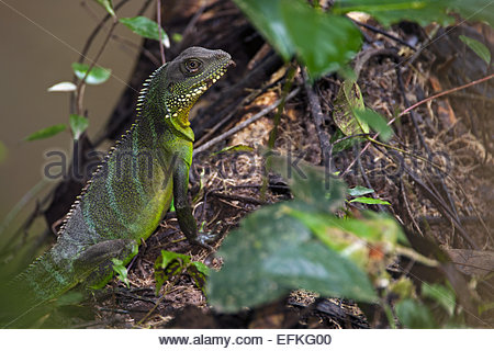 Chinese water dragon (Physignathus cocincinus) climbing tree trunk in forest - Stock Photo