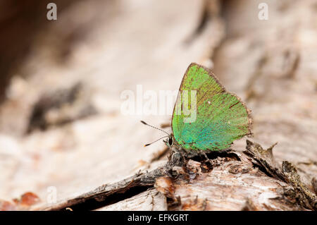 Green hairstreak butterfly (Callophrys rubi), adult at rest on a fallen silver birch at Meathop Moss, Lindale, Cumbria. - Stock Photo