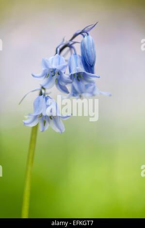 A hybrid cross between English and Spanish bluebells (Hyacinthoides hispanica x non-scripta) growing under Warton - Stock Photo