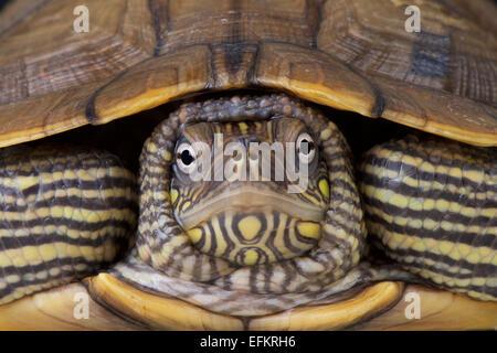 Map turtle / Graptemys ouachitensis - Stock Photo