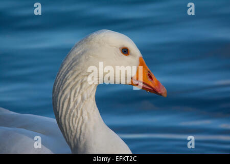 Emden Goose - Stock Photo
