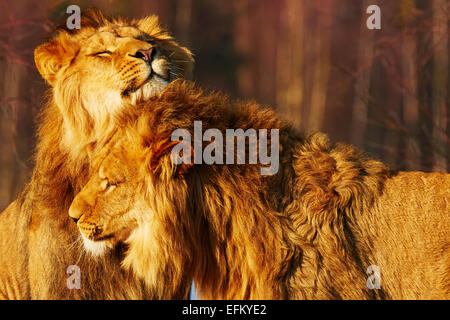 Two lion brothers close together in a forest - Stock Photo