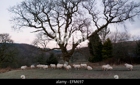Carmarthenshire, Wales, UK. 7th Feb 2015. Sheep waiting for feeding gather under oak tree on a frosty cold morning - Stock Photo