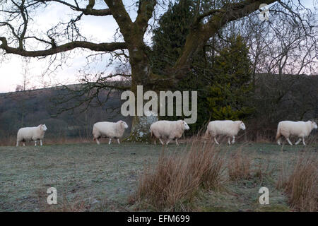 Carmarthenshire, Wales, UK. 7th Feb 2015. Sheep form a queue and head for their regular feeding position on a frosty - Stock Photo