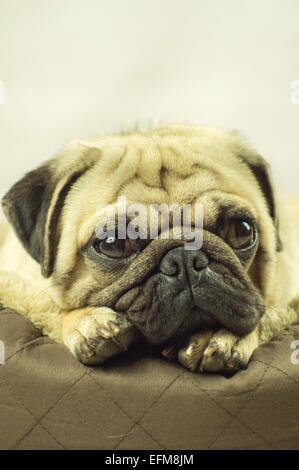 A Pug dog snoozing on a dog bed - Stock Photo