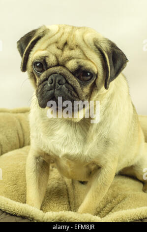 A Pug dog sitting on a dog bed - Stock Photo