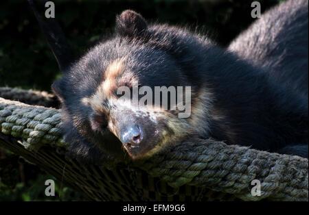 spectacled bear enjoying a snooze in the sun tiergarten zoo vienna austria - Stock Photo