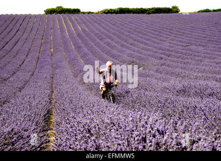 Farmer Andrew Elms uses his old bike to inspect his levender crop at his farm iat Lordington, near Chichester, West - Stock Photo