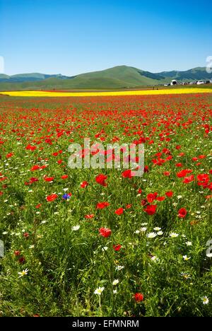 Flowering in Castelluccio di Norcia, Pian Grande, Sibillini Mountains National Park, Umbria, Italy, Europe - Stock Photo