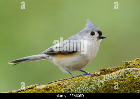 Tufted Titmouse, Baeolophus bicolor, perched on a mossy log with a natural green woodland background. - Stock Photo
