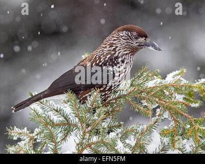 Spotted nutcracker perched on spruce in snow - Stock Photo