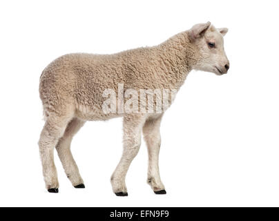 Lamb (8 weeks old) standing in front of white background - Stock Photo