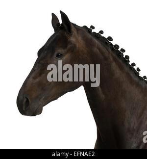 Belgian sport horse (sBs) 25 years old, Equus ferus caballus, against white background - Stock Photo