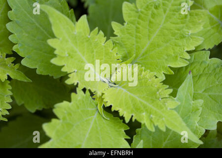 Solenostemon scutellarioides 'Wasabi' growing in a protected environment. - Stock Photo