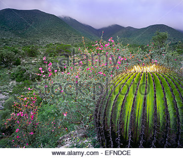 Candy barrel cactus, Chihuahuan Desert.  The Sierra Madre.  Nuevo Leon, Mexico. - Stock Photo