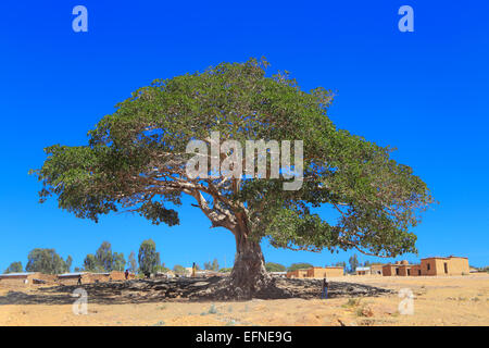 Warka (wild fig tree), Degum village, Tigray region, Ethiopia - Stock Photo