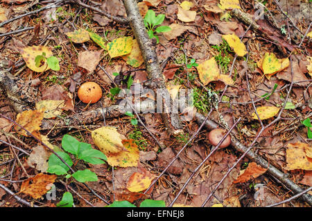 Mushrooms growing among dry leaves in wild forest. - Stock Photo