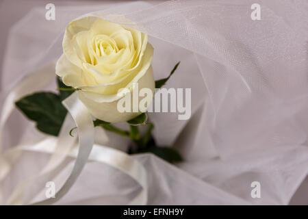 Beige rose on white tulle - Stock Photo