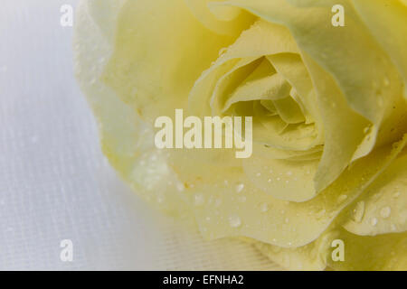 Beige rose and drops on white tulle - Stock Photo