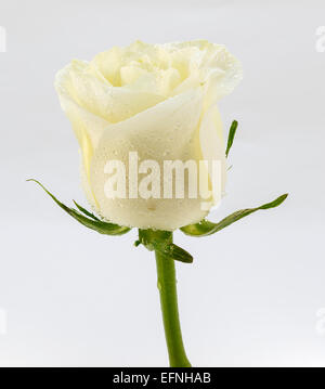 Beige rose on a white background - Stock Photo