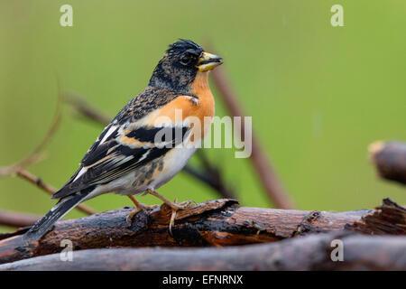 Male Brambling - Stock Photo
