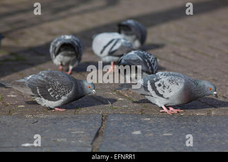 Feral Domestic Pigeons (Columba livia). Free living domesticated birds, descendants of the wild Rock Dove. - Stock Photo
