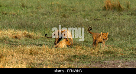 A trio of Wild African lion cubs playing together, part of a large pride filmed in Botswana on location in Savuti - Stock Photo