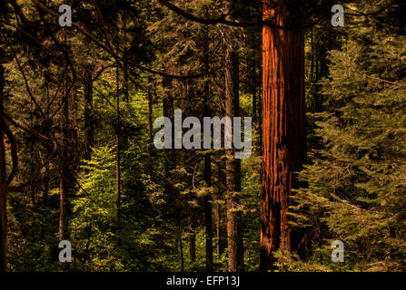Redwood Forest - Stock Photo