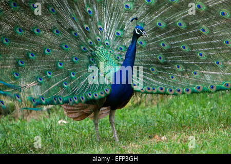 A Beautiful Peacock With Colorful Feathers and Standing in the Garden - Stock Photo