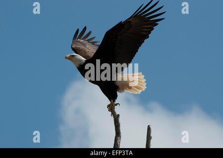 Bald Eagle taking flight at Twin Harbors State Park, West Port, WA, USA. - Stock Photo