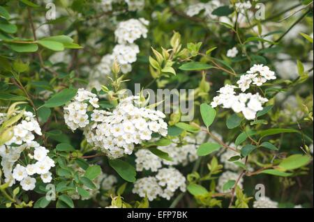 White small flowers of flowering herbaceous spirea shrub Spiraea arguta Bridal Wreath - Stock Photo