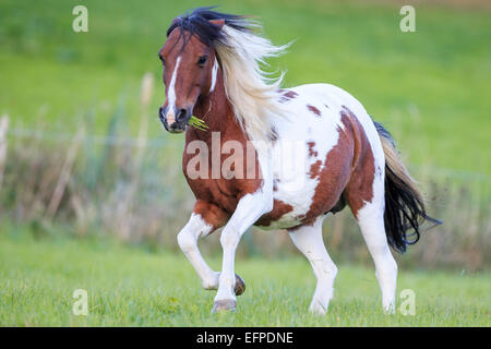 Lewitzer Pony Skewbald mare galloping pasture Germany - Stock Photo