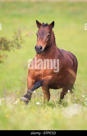 Shetland Pony With Plaited Mane Stock Photo Royalty Free