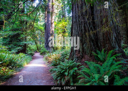 Giant redwood trees in the Redwoods National and State parks, California, USA - Stock Photo