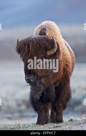 Bison (Bison bison) bull in the spring, Yellowstone National Park, UNESCO World Heritage Site, Wyoming, United States - Stock Photo